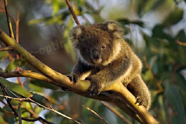 Австралия фото. Описание Австралии. Фото фауна Австралии коала, кенгуру